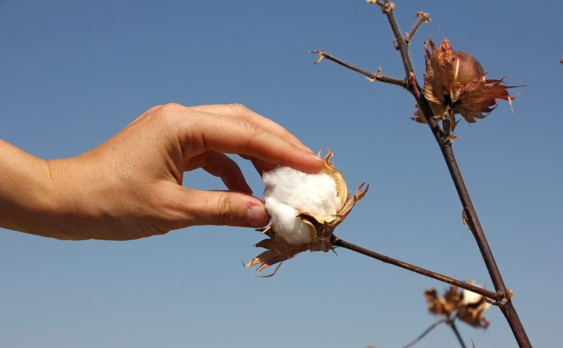 Tips of How to Grow Cotton