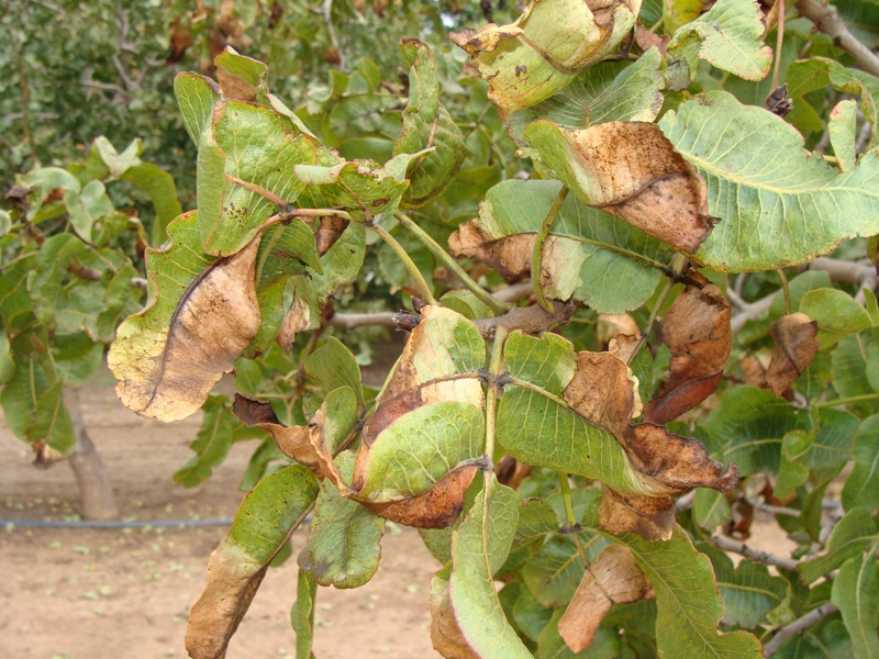 Common Pests and Disease in Pistachio Tree