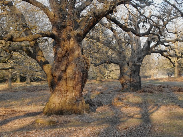 How Long Do Oak Trees Live
