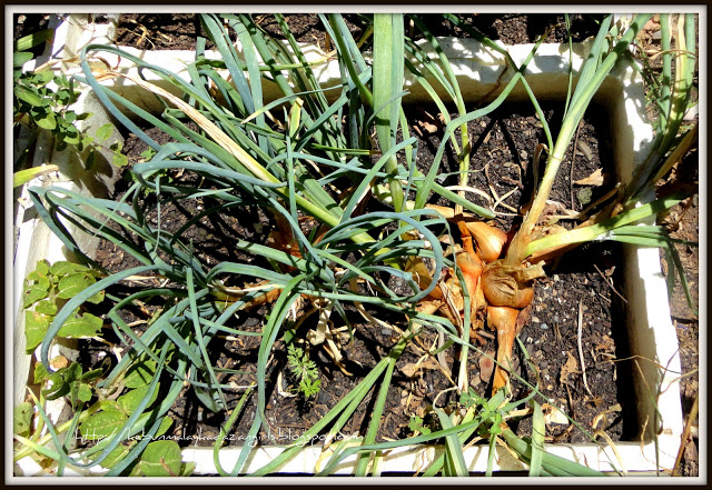 How to Grow Shallots from Scraps