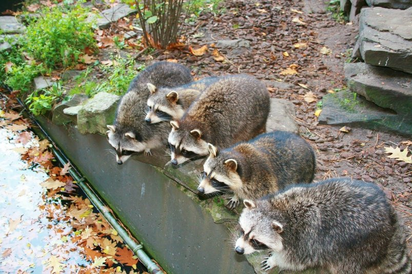 How to Keep Raccoons from Digging up Plants