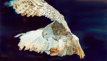 """Snowy Owl"" Watercolor by Cheryl Renee Long"