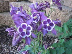 fancy purple columbine