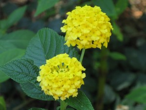 Lemony Lantana is a great drought hardy flower. A woman I did some carpentry work for said they were native to her old home in Iraq.