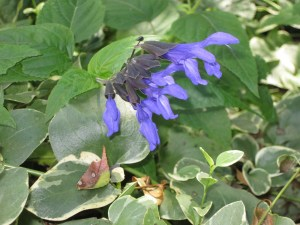 These purple salvia are doing well in the shade, but can also take some sun.