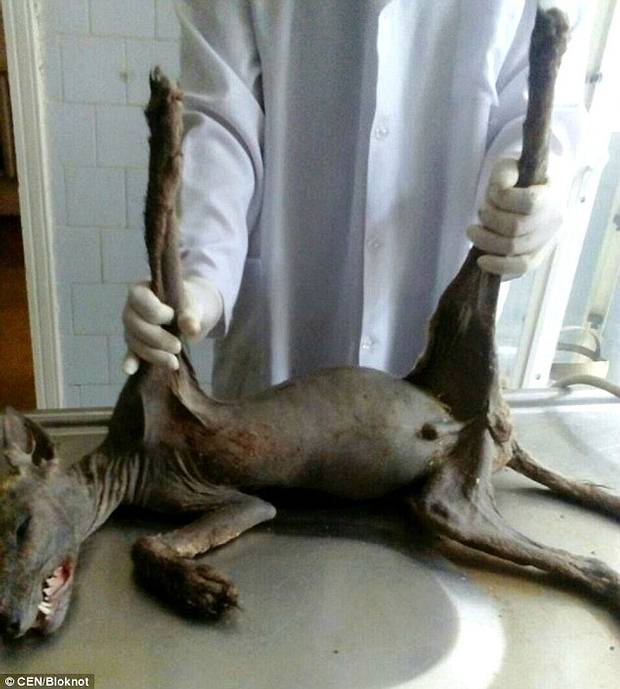 Foto del animal mientras era analizado por los veterinarios.