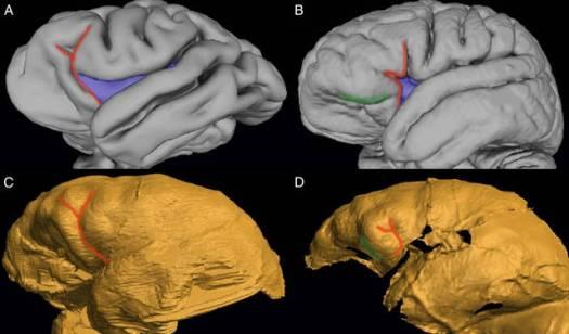 naledi-brain
