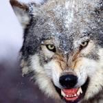 Advierten que los lobos «mutantes» de Chernóbil podrían dispersar sus genes por toda Europa