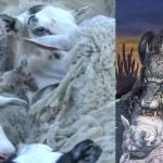 ¿Chupacabras? Una criatura desconocida está matando cruelmente a ovejas en Ucrania