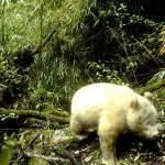 Fotografían por primera vez a un raro panda gigante albino en China