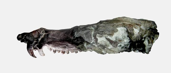 Pseudotherium argentinus skull