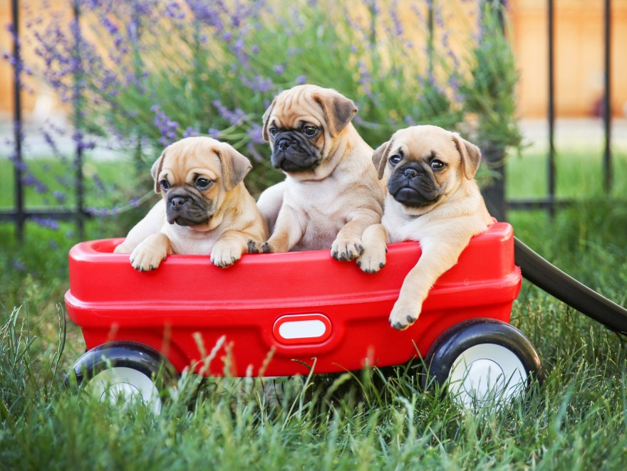 Three  pug chihuahua mix - chug-  puppies  in a red wagon