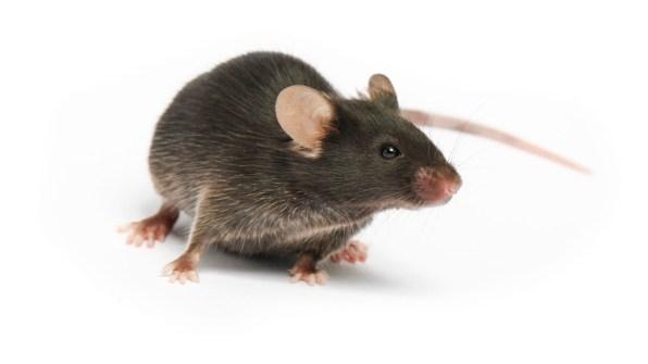 mystic-oasis-mice-rats
