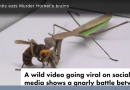 "Murder hornet takes on ""praying"" mantis in epic grudge match of the century…"