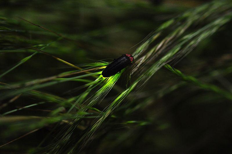 Firefly glowing - image by ホタル_蛍_Hotaru - Wilkimedia