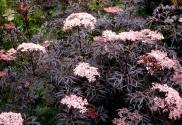 sambucus nigra blacklace