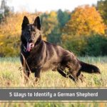 How To Tell A Purebred German Shepherd 5 Ways To Identify A German Shepherd