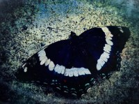 Butterfly 1.1 blue gritty