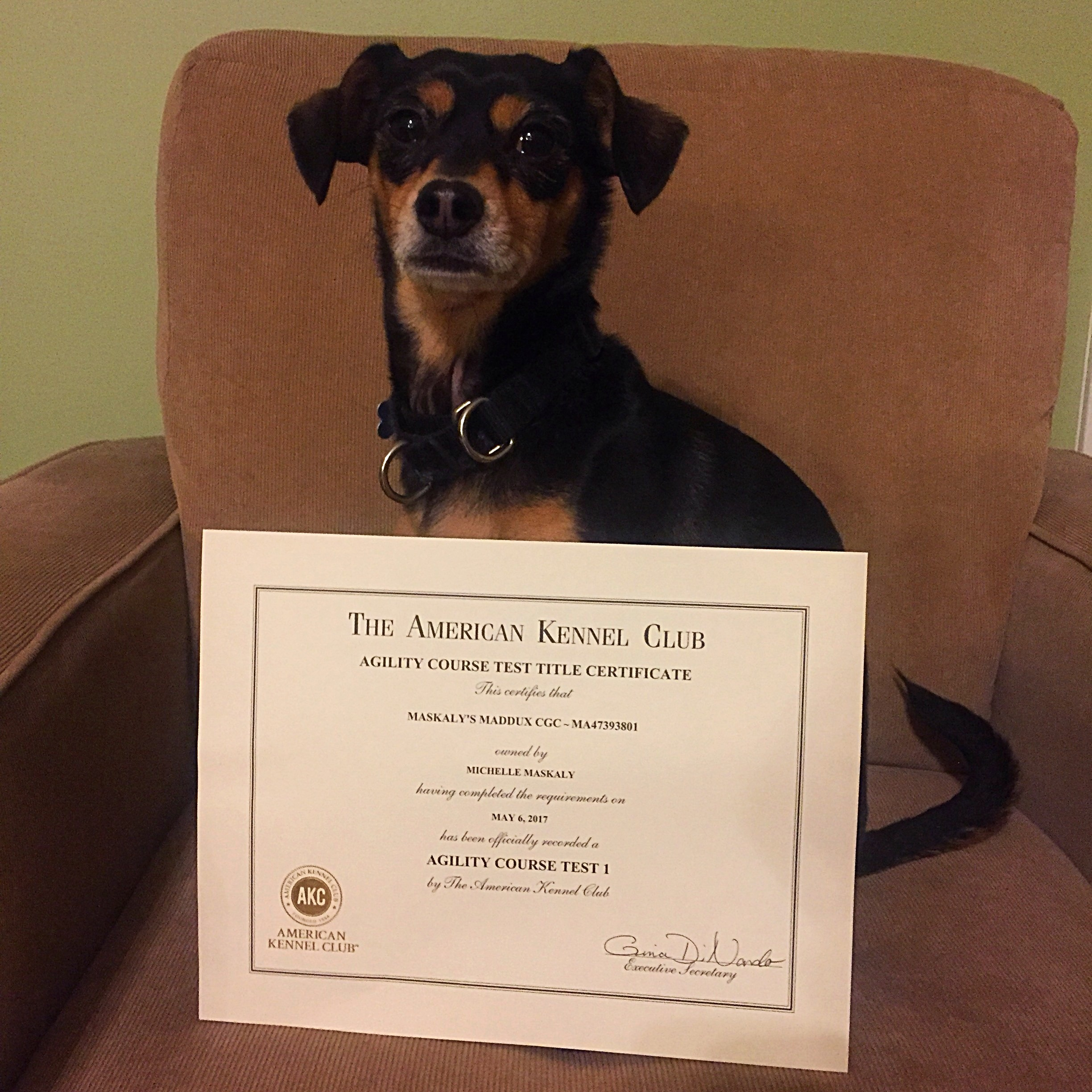 Maddux's New AKC Titles - My Tail Hurts From Wagging So Much