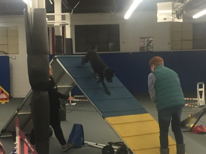 Bear on the a Frame agility dog