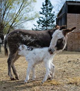 Baby donkey 9566 FB WM