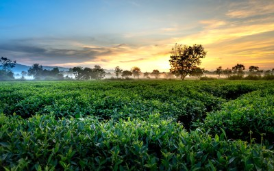 The Mother of Tea: Camellia Sinensis