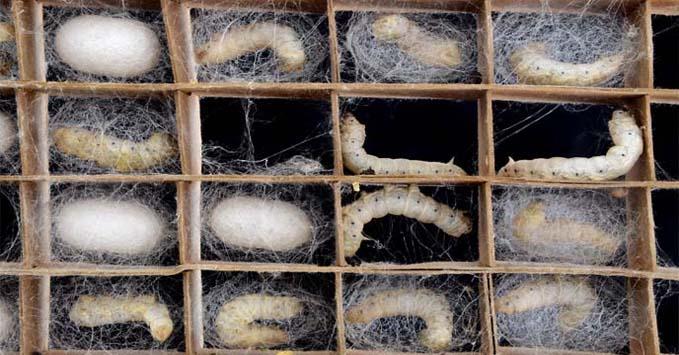 silk worms at work