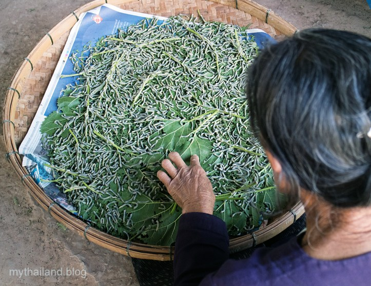 Silkworms eating mulberry leaves