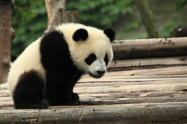 Who's responsible for the end of pandas?