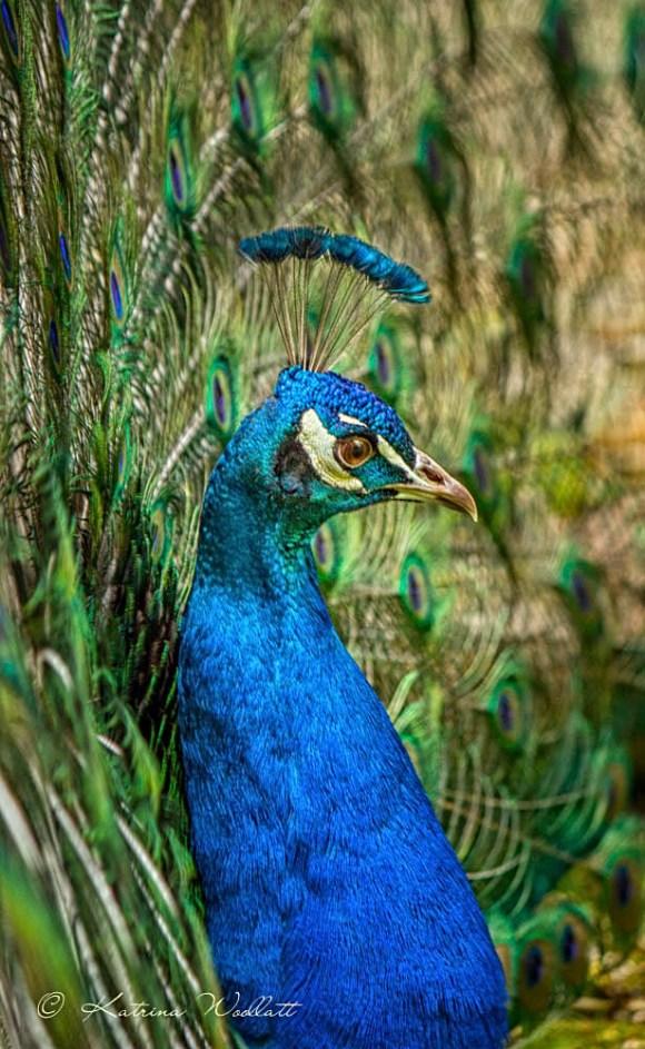 peacock-6593