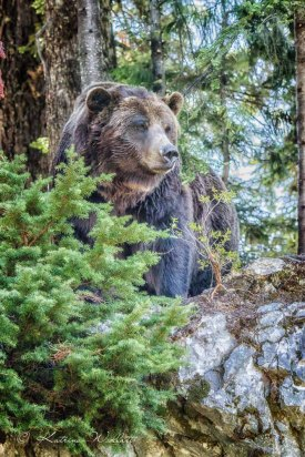 Grilly bear on treed rocky outcrop
