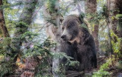 Grouse-Mountain-grizzly-1