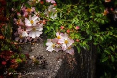 rambling rose draped over cement culvert