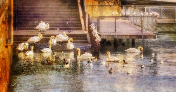 swans, ducks, gulls and pigeons gatering at the bottom of steps leading into lake