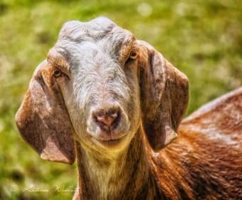 headshot of nanny goat