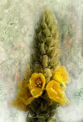 mullein flower spike
