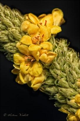 mullein flower close-up