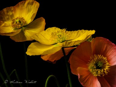 yellow and red icelandic poppies