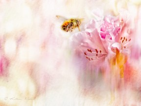 bumble bee approaching pink rhododendron, watercolor effect