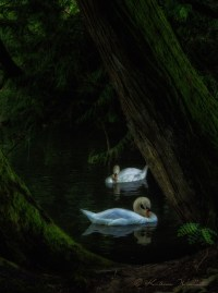Two swans swimming in the dark