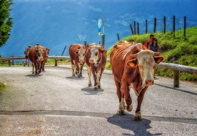 Cows walking up the road