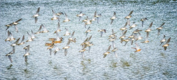 Dowitchers flying in formation