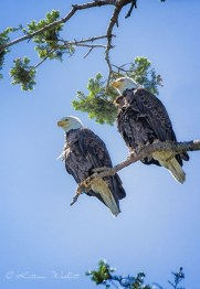 two bald eagles together on branch