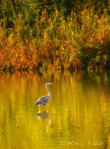 heron in water, fall colors behind