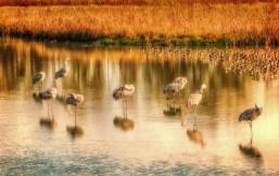 sleeping sandhill cranes & dowitchers