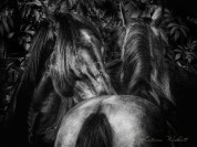 closeup of two horses grooming each other, in dark monochrome