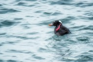 male surf scoter scratching his head