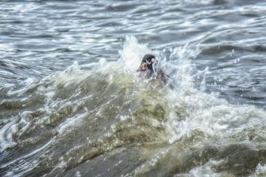 female surf scoter being buffeted by a wave