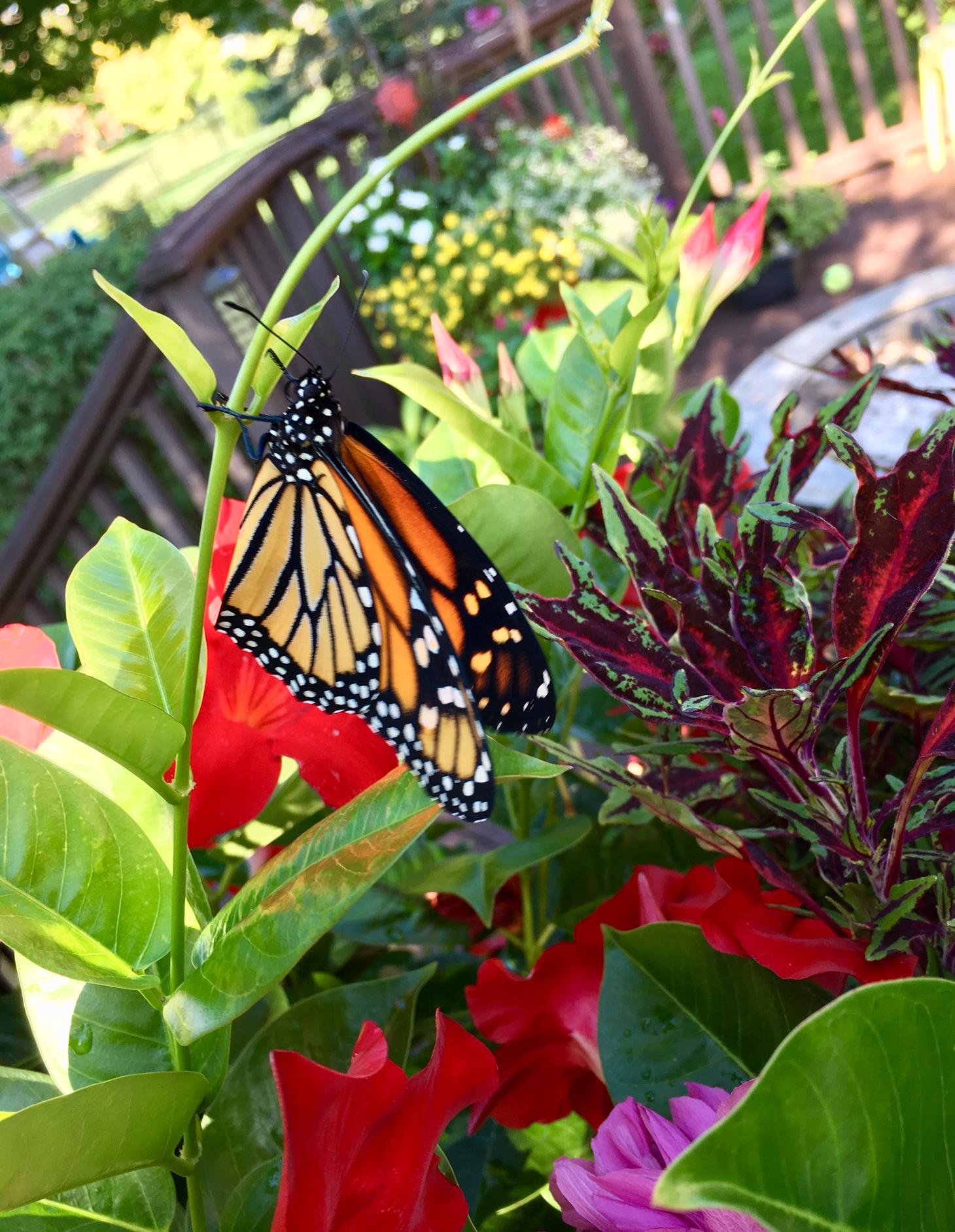 monarch in flower pot