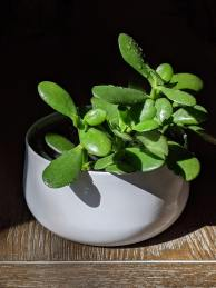 small houseplant in white pot in sunlight